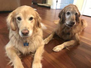 Two Golden retrievers lying on a wood floor