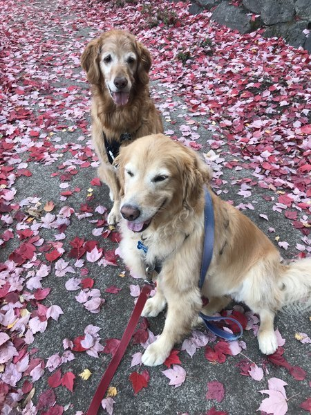 Two Golden Retrievers sitting among fall leaves
